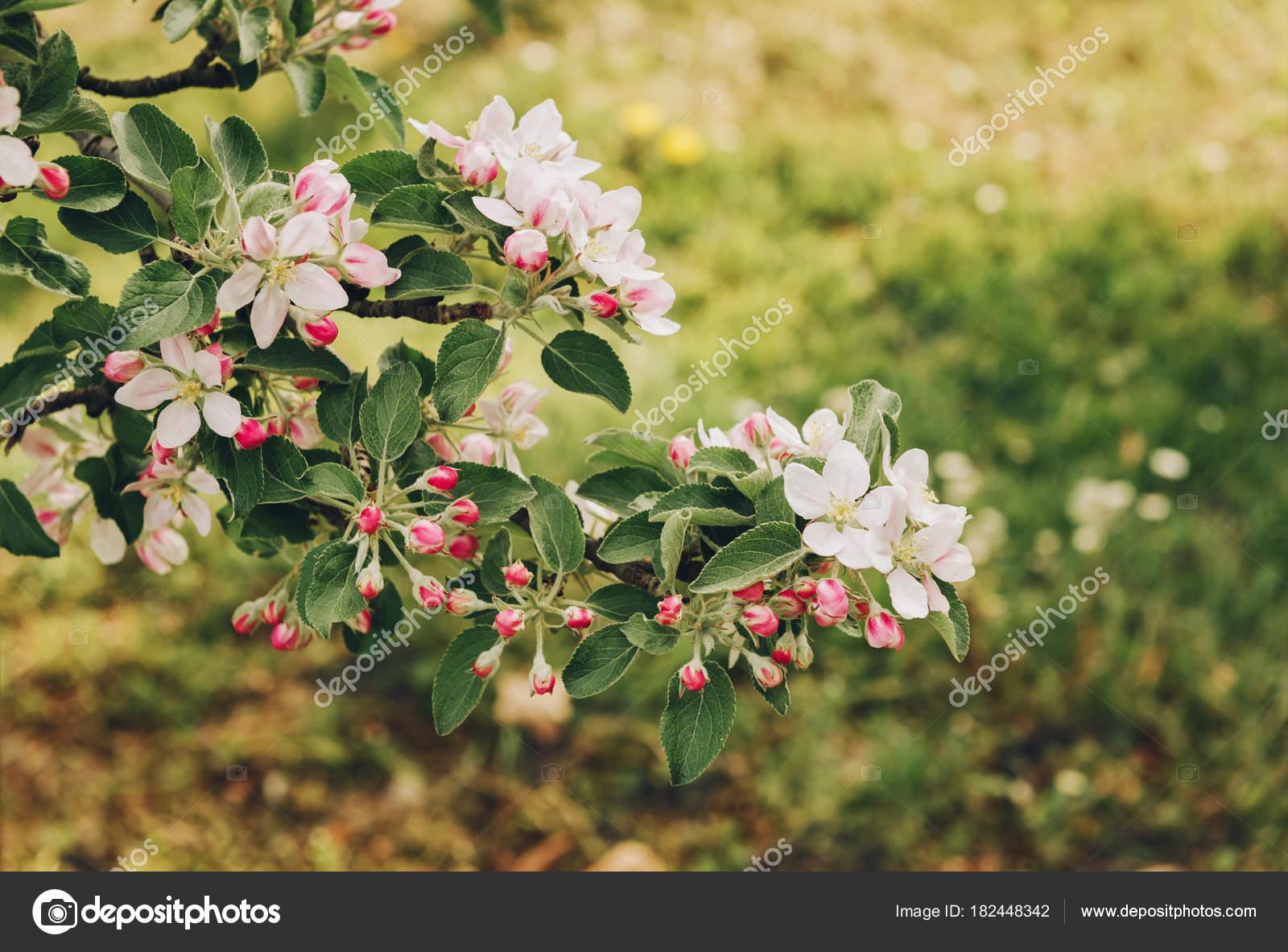 Blooming Apple Tree Large White Flowers Beautiful Natural Seasonsl