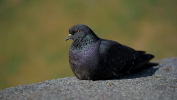 Nice pigeon sitting on a stone