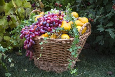Dark grapes and yellow pears in a wicker basket on a background of green bushes and grass. Food, fruits, agriculture, healthy foods.