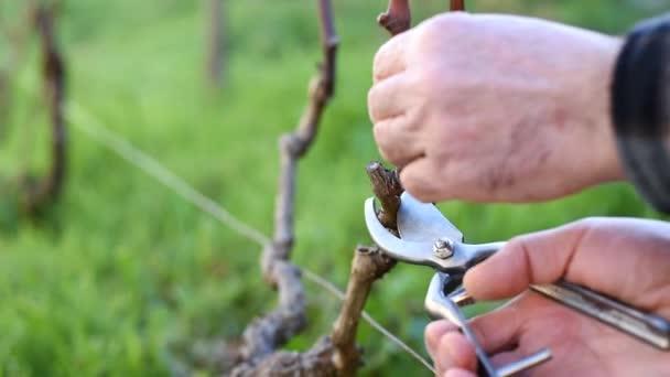 Közelkép egy borász kézről. Prune a szőlő professzionális acél ollóval. Hagyományos mezőgazdaság. Felvétel.