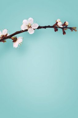 Blooming apricot branch isolated on blue background stock vector
