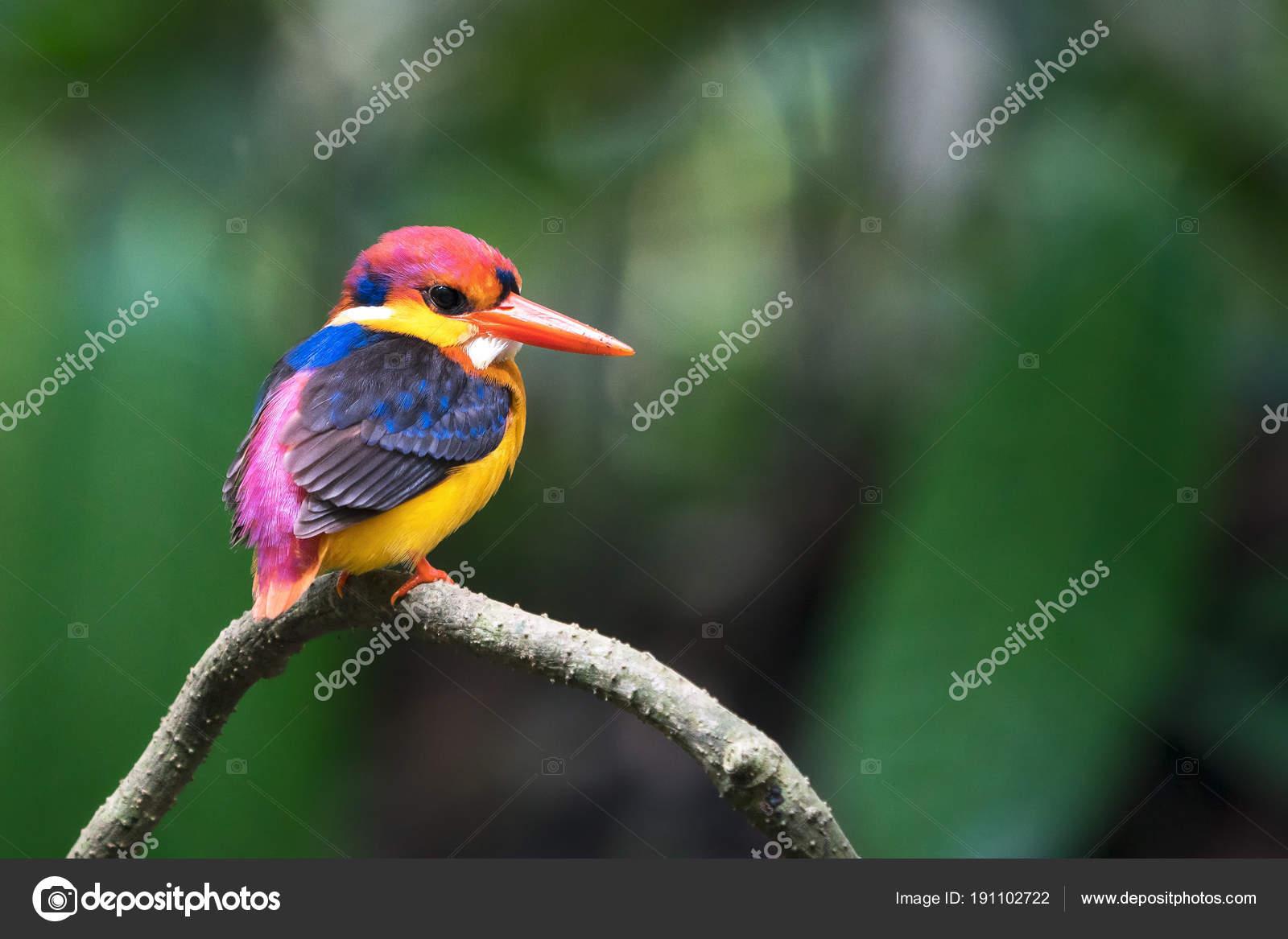 https://st3.depositphotos.com/3263921/19110/i/1600/depositphotos_191102722-stock-photo-beautiful-bird-oriental-dwarf-kingfisher.jpg
