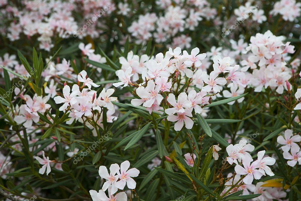 White Oleander Flowers Stock Photo Elenarostunova 127673422
