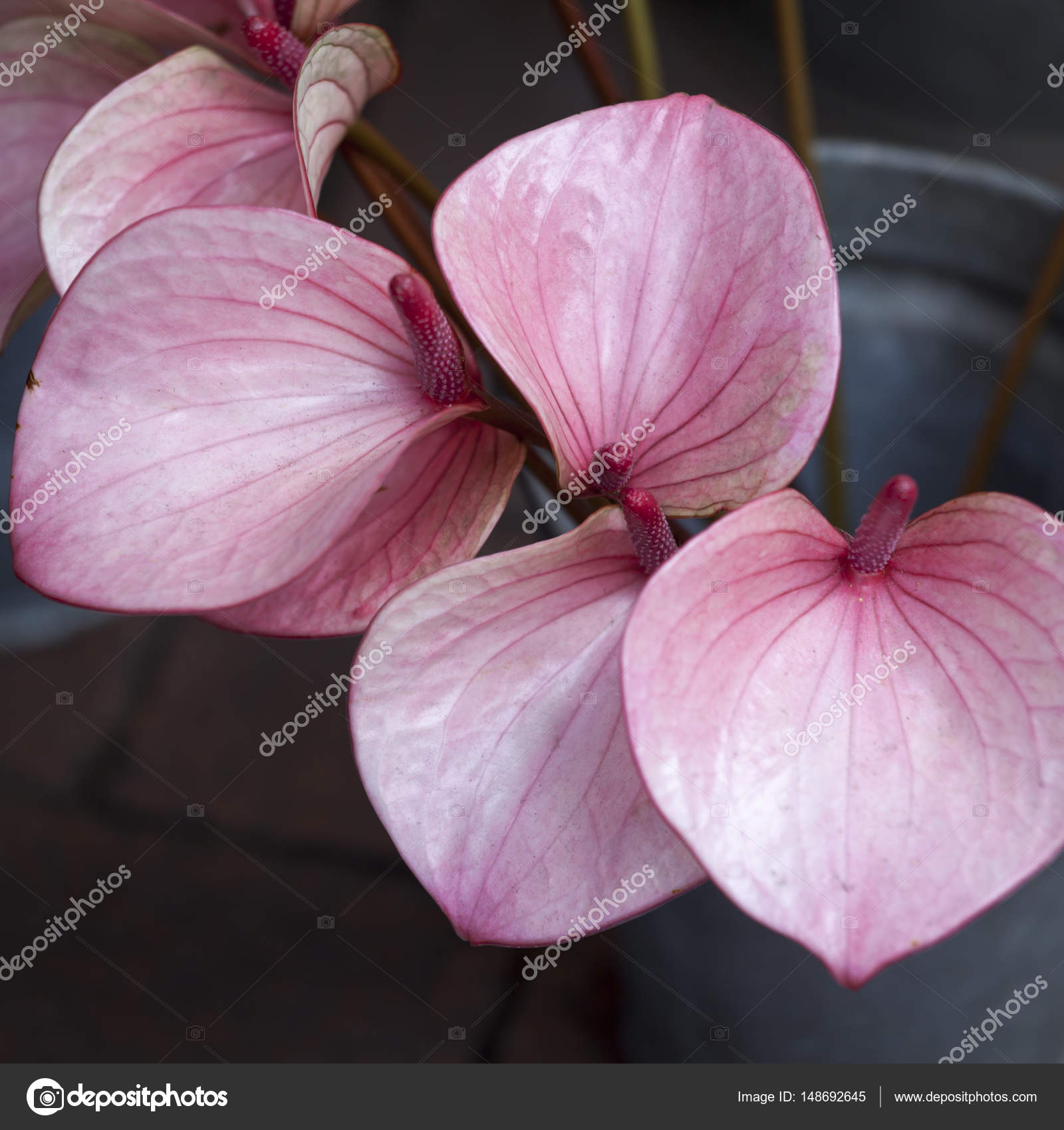 The anthurium or flamingo flower top view stock photo the anthurium or flamingo flower top view stock photo mightylinksfo Images
