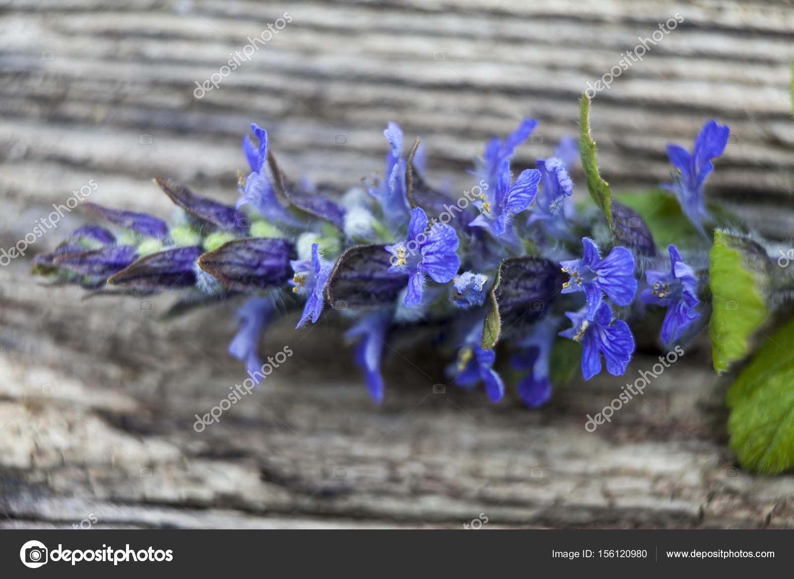 лекарственный цветок картинки синий