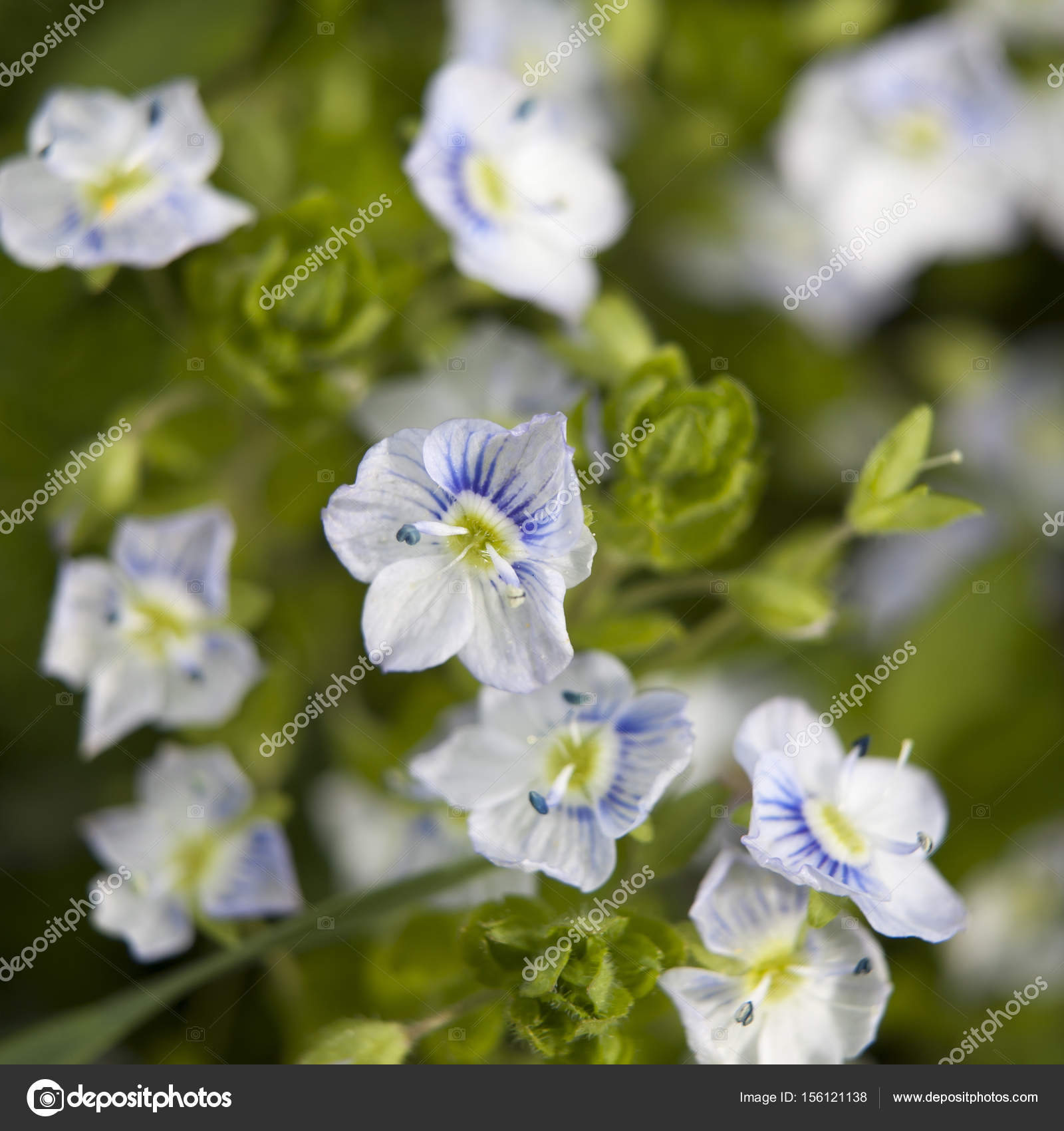 The Blue Ivy Leaved Speedwell Veronica Hederifolia Ssp Hederifolia