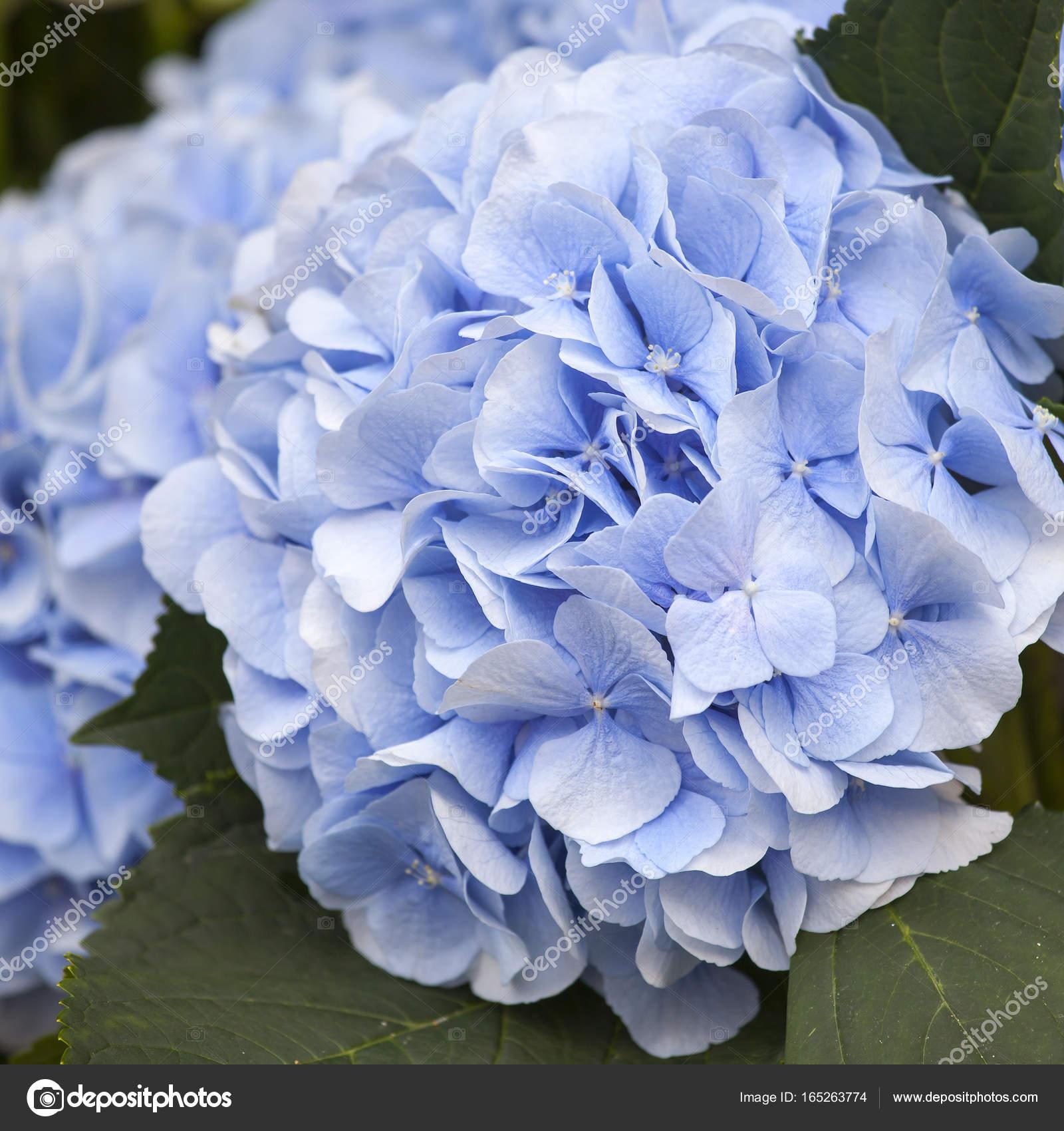 Ortensie Blu : Un bouquet di ortensie blu per diverse occasioni — foto