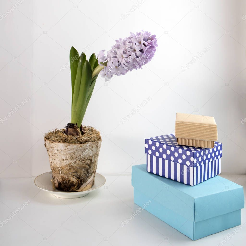 the Pale blue hyacinth in a blue cup as a decoration of window
