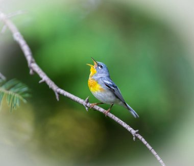 Northern Parula Quebec Canada.