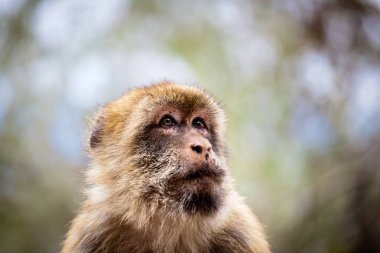 Barbary Macaque on the rock of Gibralta.