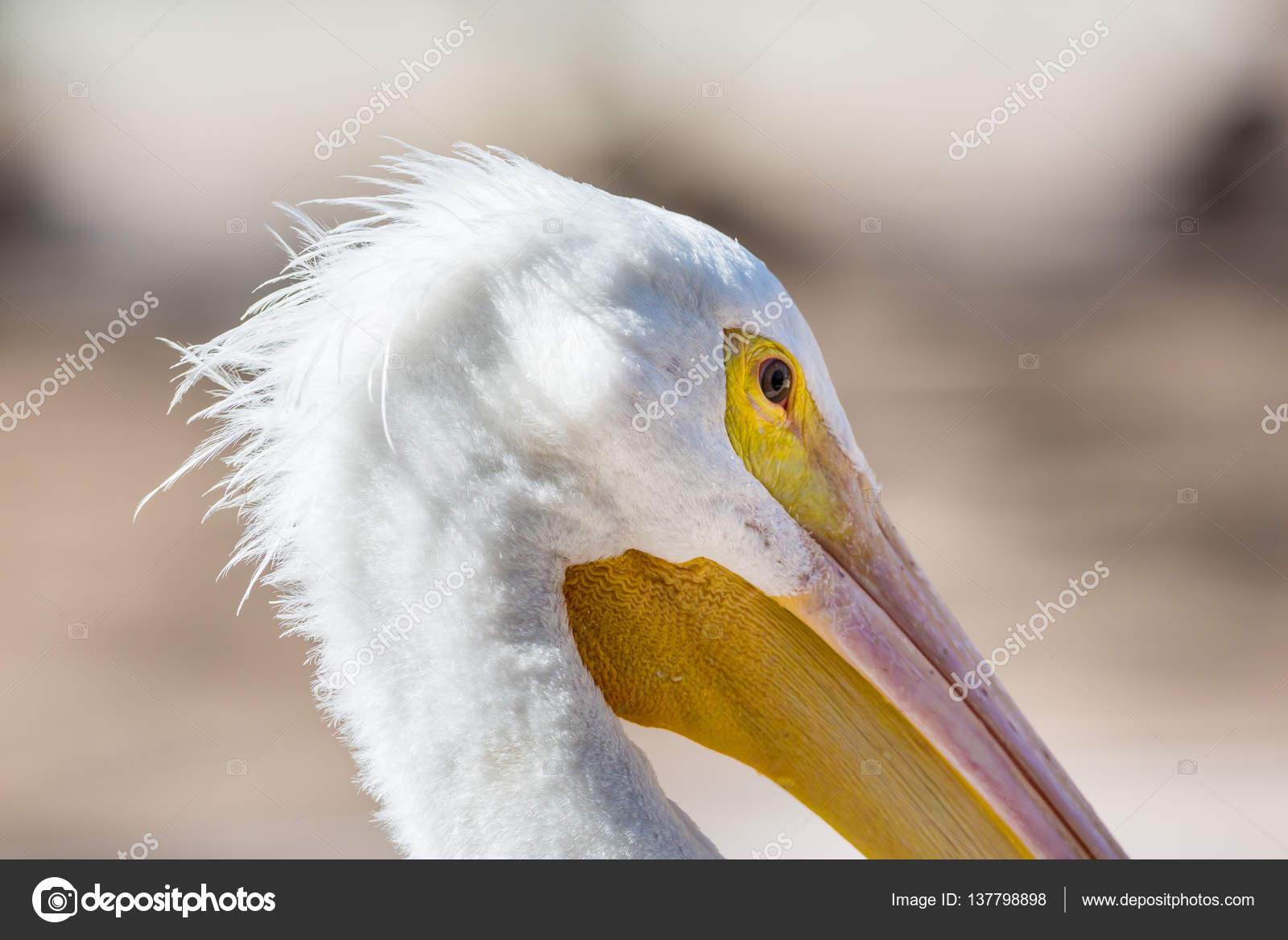 Μεγαλύτερο λευκό πουλί