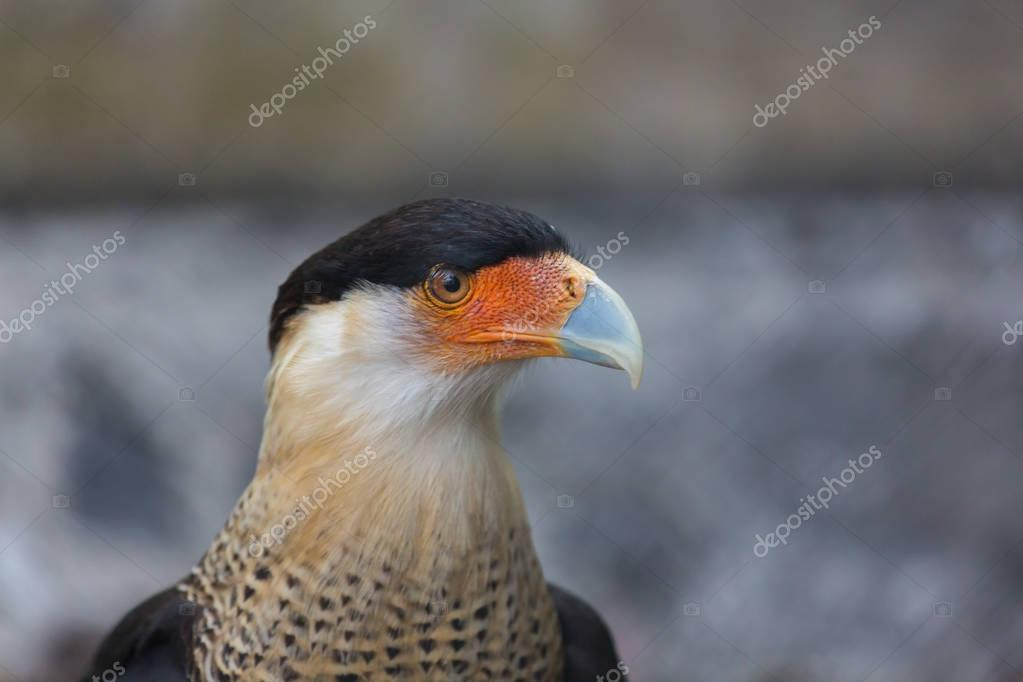 Crested Caracara a vulture of Mexico.