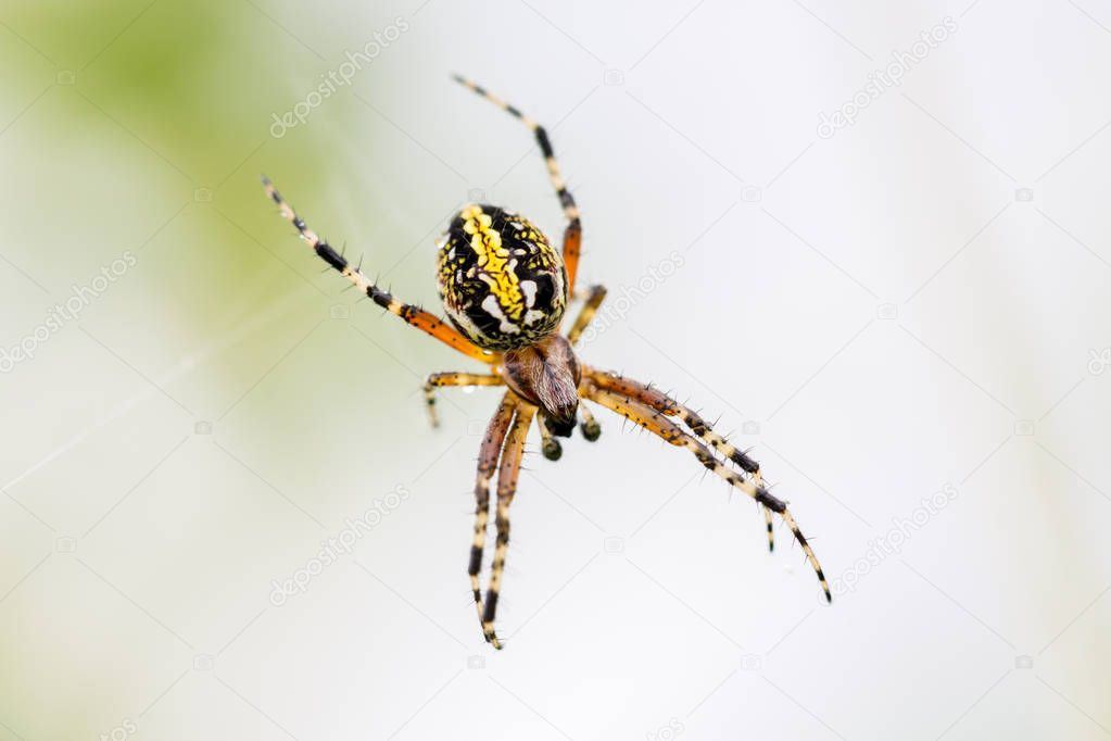 Marbled or golden orb weaer spider.
