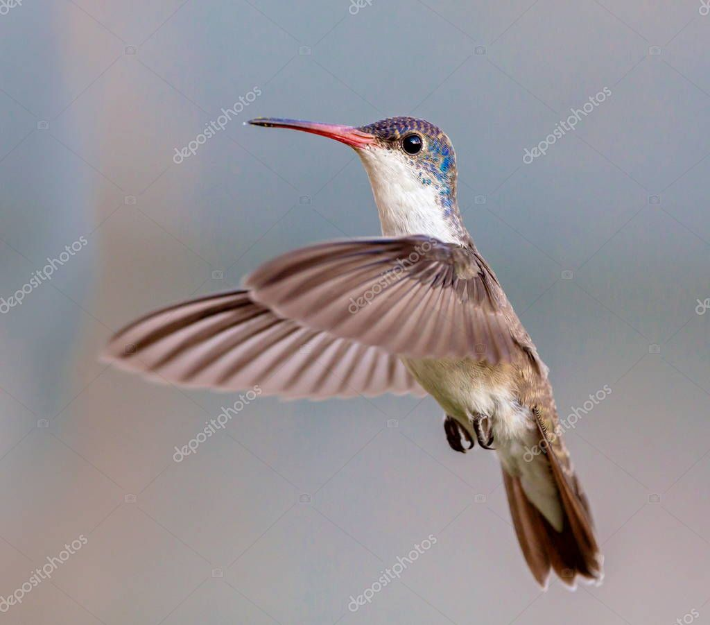 Violet crowned hummingbird in flight.