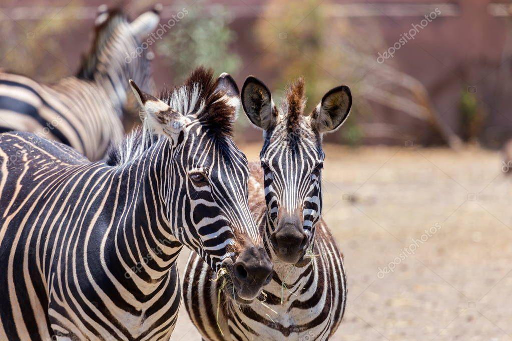 Zebra the striped horse.