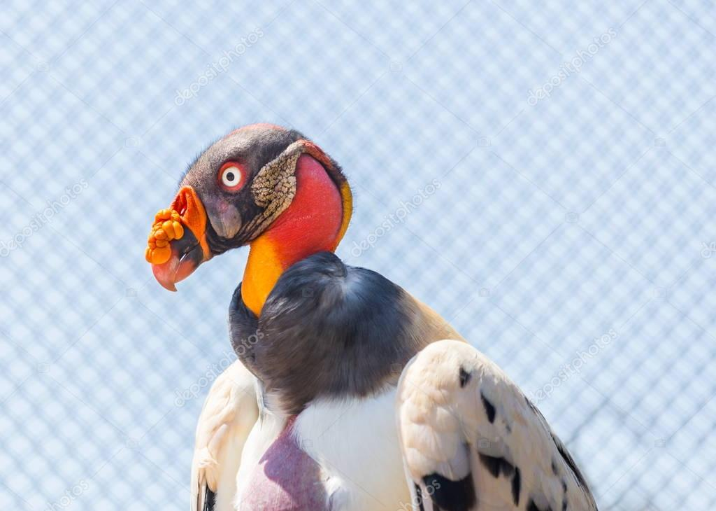 King Vulture close up.