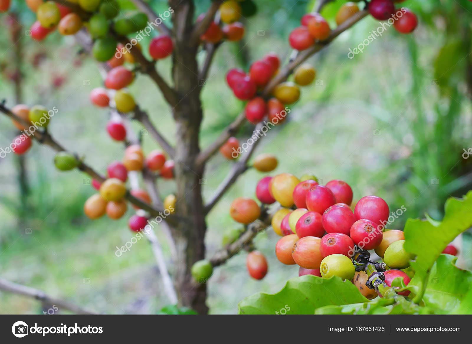 cerca de café cereza en la rama de la planta de café antes de la