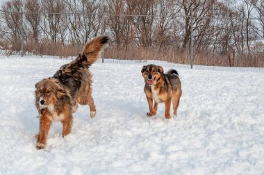 Large, beautiful red, cheerful dogs run and jump joyfully on a snow-covered area in the countryside
