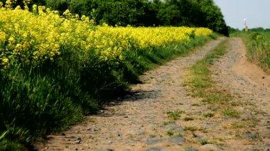 Polní cestě, lemované pole řepky na jedné straně a jinou na straně druhé