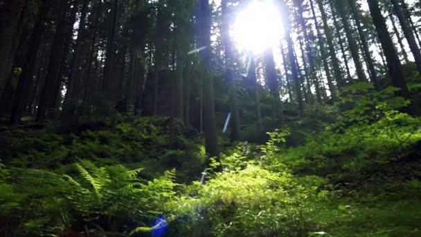 Sonne scheint durch Bäume auf Farne im Wald