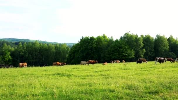 Stádo krav oděrek na pastviny za slunečného dne, Les v pozadí