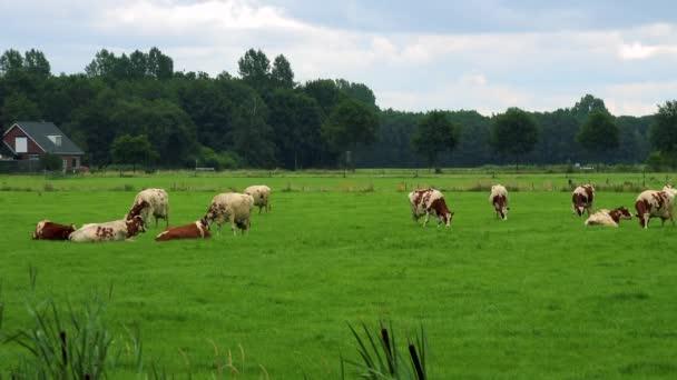 Krávy oděrek v pastvinách