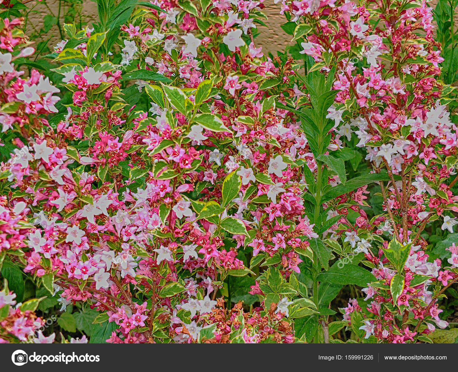 Flowers Flora Bushes Pink Green Outside Stock Photo Allisija