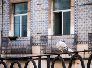 Pigeon with old building on backround