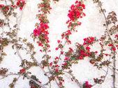 Fotografia Albero di bouganville che cresce su una parete