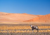 Fotografie Oryx Gazelle in Namibia