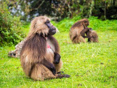 Gelada (Theropithecus gelada) monkeys in Semien Mountains, Ethiopia.