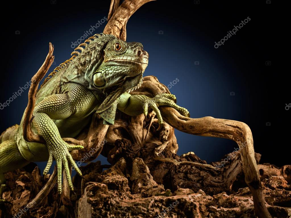 A green iguana on a tree branch.