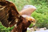 Steinadler (Aquila chrysaetos))