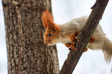 The squirrel. Squirrel on the tree.Squirrels are members of the family Sciuridae, a family that includes small rodents.