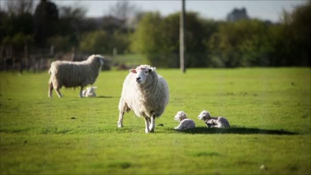 Tavaszi anyajuh és bárány