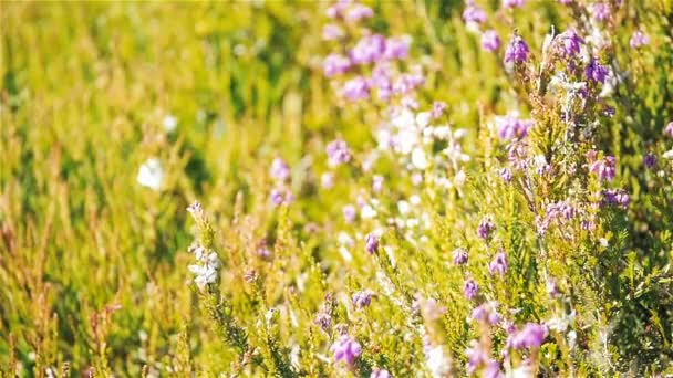 Scottish Heather in a gentle summer breeze. Selective focus on flowering heather swaying gently in the summer breeze on the heathlands of the Scottish highlands.