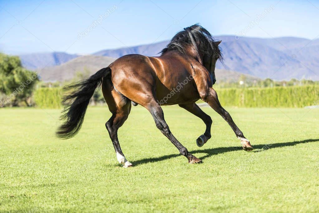 Thoroughbred wild horse