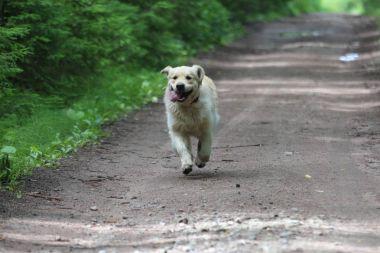 Golden retriever on the dirt road.