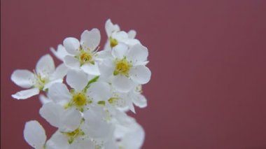 Closeup white blossoming flowers plum tree daytime stock video branch of white flowers of plum and apricot mightylinksfo