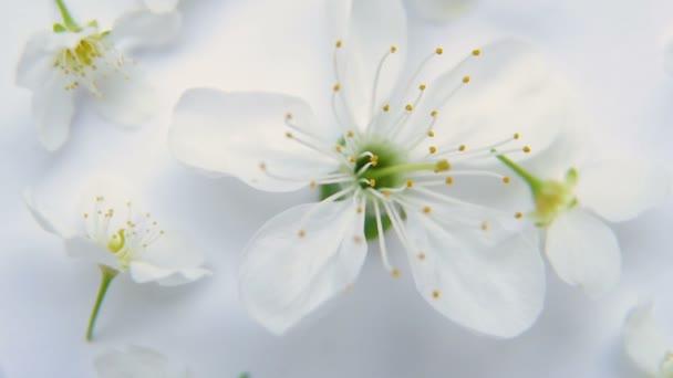 Bílá jarní apple nebo cherry květy na bílém pozadí