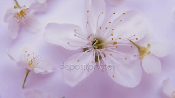 Fehér tavaszi apple vagy cherry blossom