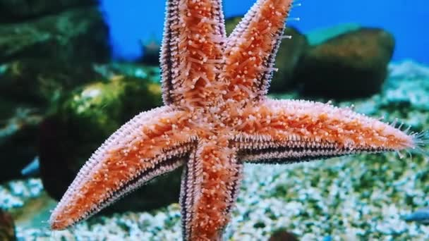 Close-up of a red starfish clinging to the glass wall of an aquarium