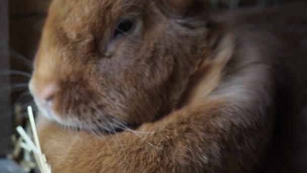 Roztomilý hnědý králík na organické farmě, schovaný v králičí boudě. Osvětlené měkkým denním světlem. Ekologické zemědělství, práva zvířat, zpátky do přírody. Hd video