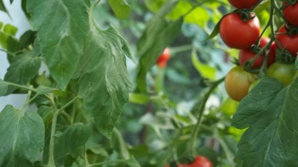 Čerstvý svazek zralých a nezralých rajčat pěstovaných v domácím skleníku, ozářených slunečním světlem. Nízká hloubka pole a rozmazané pozadí. HD VIDEO