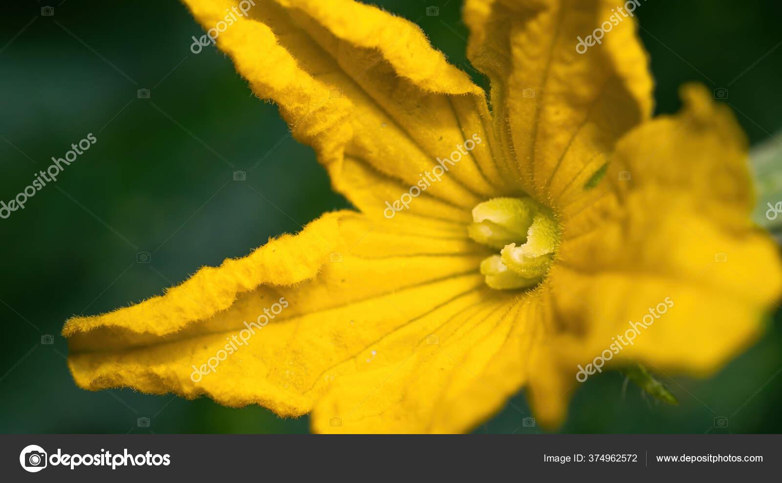 желтые огурцы в теплице