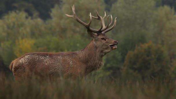 Männliche Hirsche stehen im Wald. Schöne männliche Hirschhörner. Nahaufnahme.