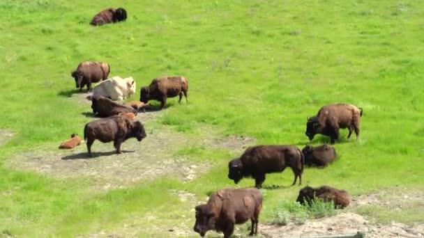 Herde von Büffelbisons in einer grasgrünen Flachlandlandschaft