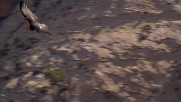 zpomalení vzácné Kalifornie kondor létání přes pouštní kaňon