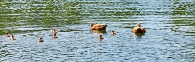 Young city ducks floating in sunny green summer water with waves and reflections