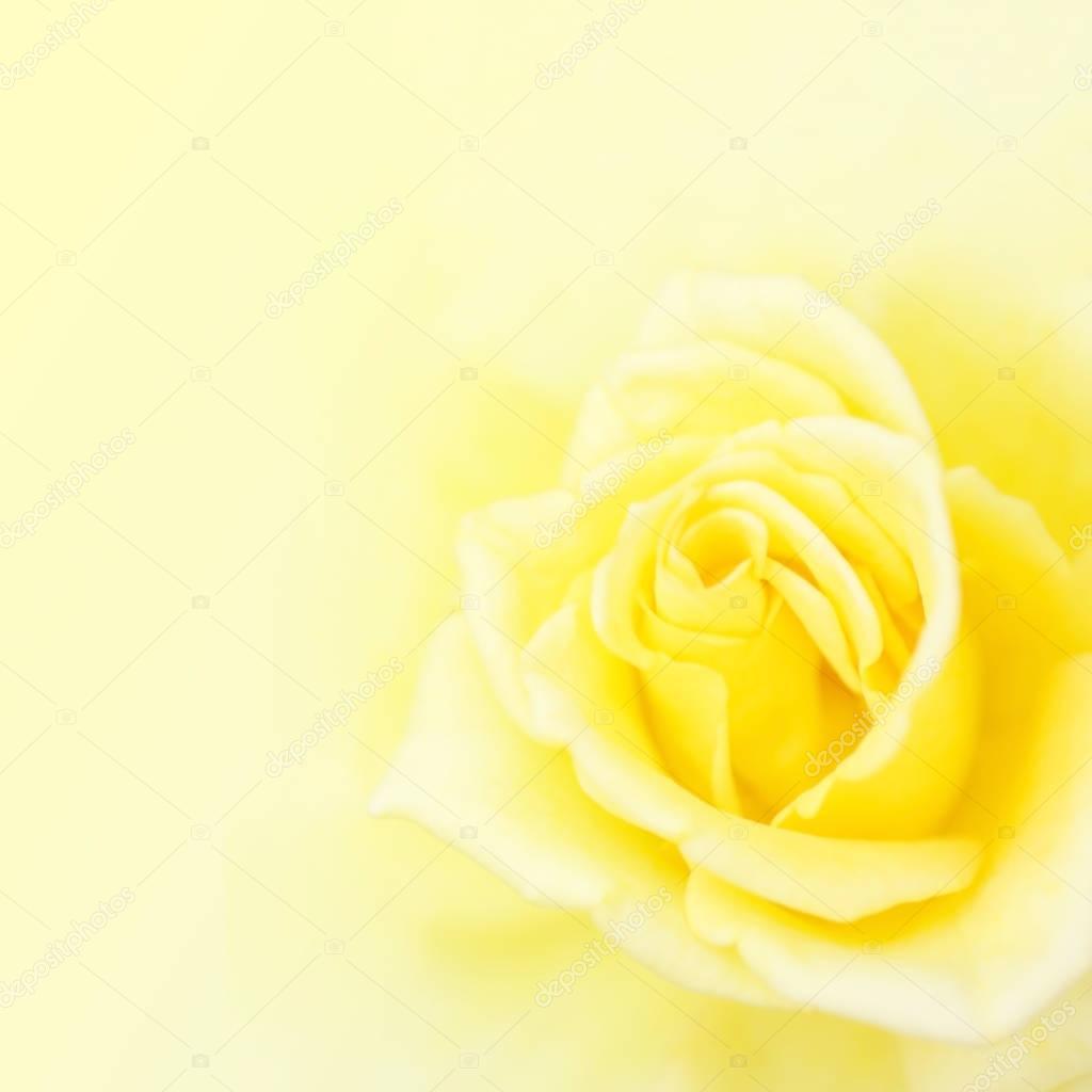 Wallpaper Of Yellow Rose: Blurred Soft Yellow Rose